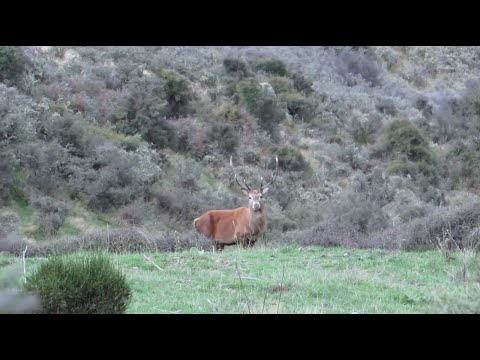 Hunting Red deer and pigs in New Zealand