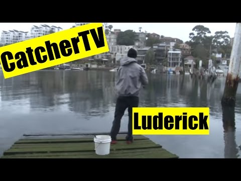 Luderick Fishing Sydney Harbour