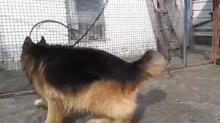 German Shepherd good breeding dog's. .....