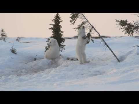 Animales - Cachorros de oso polar jugando en nieve