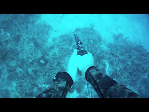 Spearfishing Hogfish South Florida