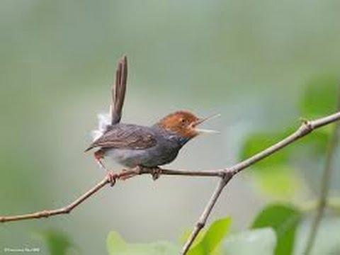 Burung Master : Prenjak Kepala Merah Nembak Variasi Ciblek video