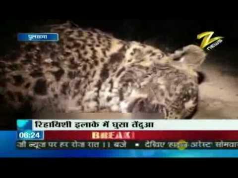 Bulletin # 1 - Leopard shot dead in J&K Jan. 19 '10