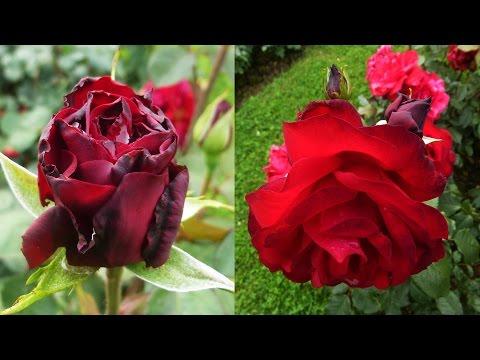 Rosengarten von Baden-Baden / Rote Rosen, schwarze Rosen