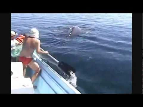 Amazing Humpback Whale Rescue & it's Thank You To The Rescuers (2011)