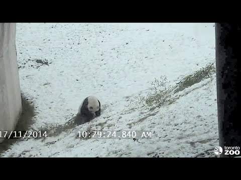 Cute giant panda shows ow to have fun in snow