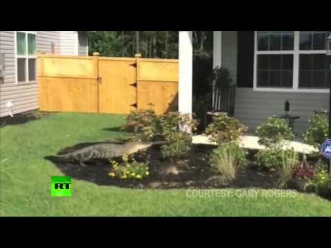 Pool Party? Alligator wanders around subdivision in South Carolina
