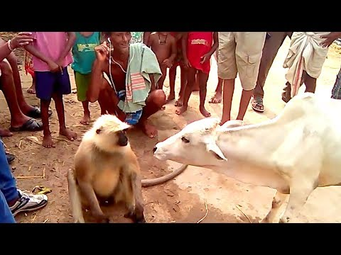 Monkey and Cow Love | Video From My Phone | Funny COmedy