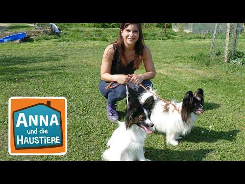Papillon | Information für Kinder | Anna und die Haustiere