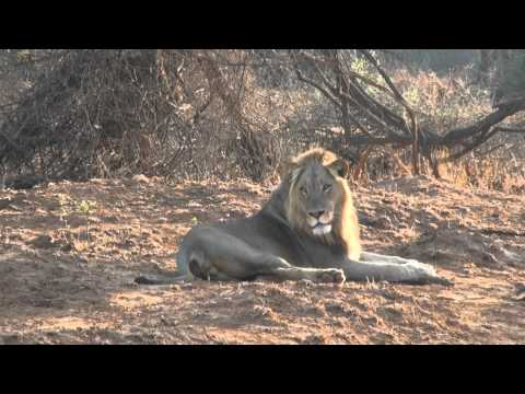 Pafuri Lion Roaring In The Morninglight video