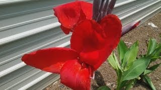 How to Plant Canna Lilies