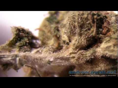 Diesel X Nevilles Haze (AllStar Genetics) - Testing New Strains - Amsterdam Weed Review