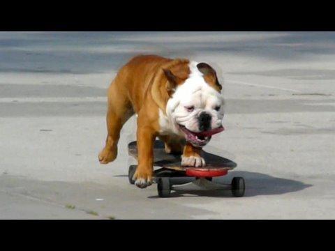 スケートボードを乗りこなすブサカワ犬w