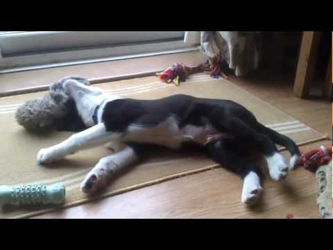 Short video of my border collie Sam playing (10 we