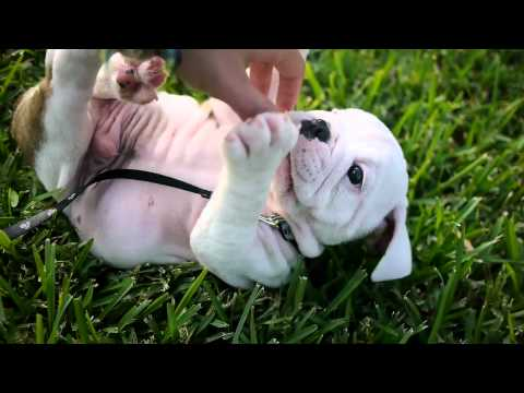 English Bulldog Puppy and a Baby