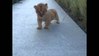 Lion King Roar! Baby Simba)