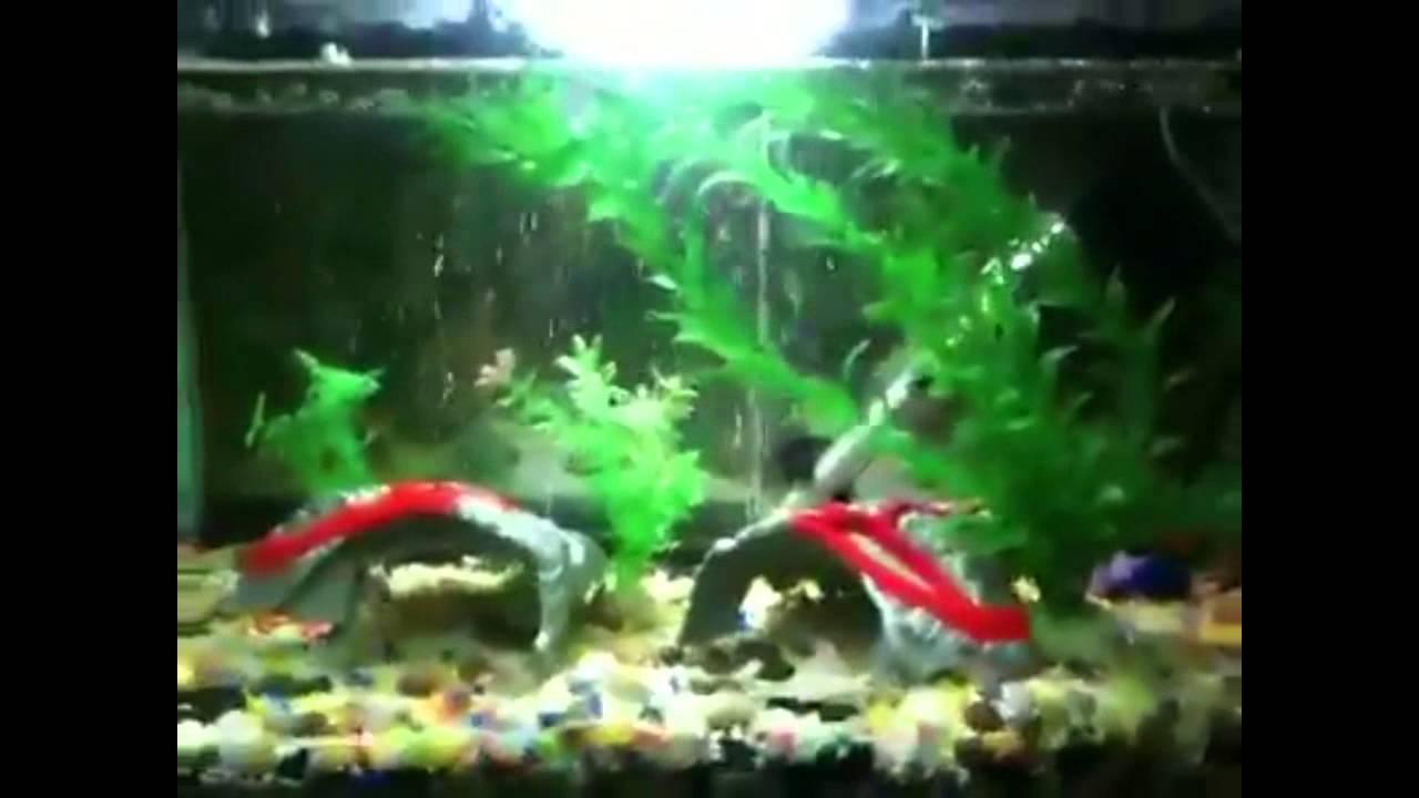 Goldfish con peces tropicales incompatibilidad de acuarios for Incompatibilidad en plantas