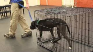 Training | Mello - Crate Introduction | Solid K9 Training Dog Training
