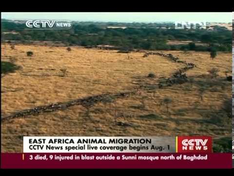 CCTV News special live coverage on East Africa animal migration begins on Aug. 1