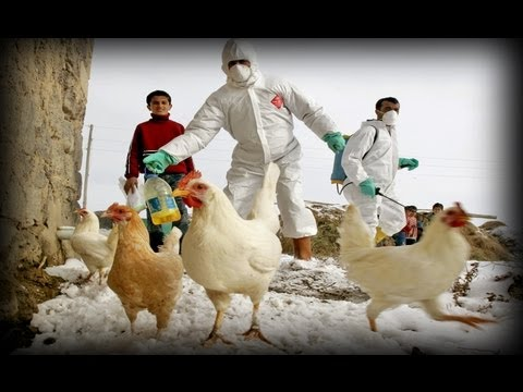 Avian Flu (part 4)