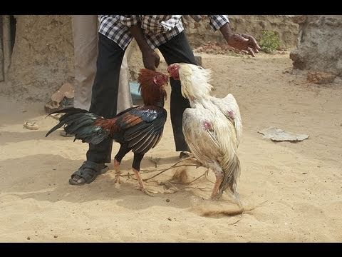 Rooster Kills Rooster Attacks And Kills Man