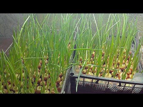 Выращивание лука на перо в августе 20