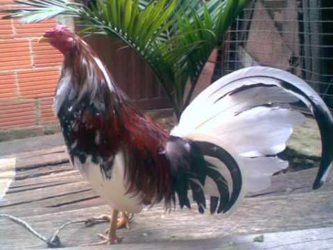 Gallo pinto de pelea