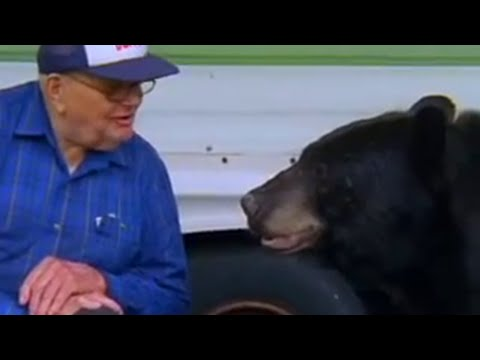 The Man Who Feeds Wild Black Bears   Bear Crime   Bbc Animals