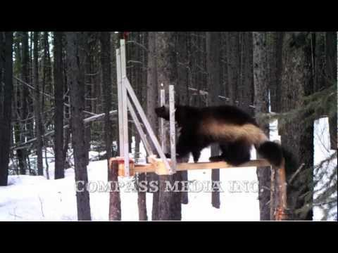 Wolverine Trail Camera Footage