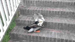 cat duck fight Tom Bonin ( it's funny, they're playing)
