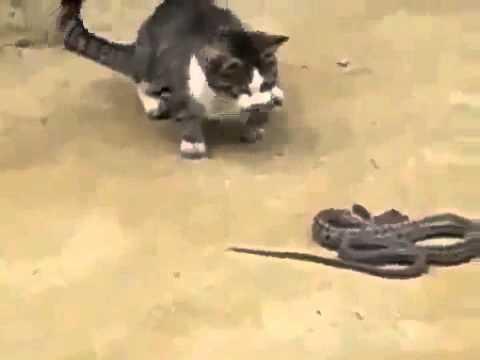 Кот против змеи Cat vs snake Юмор! Прикол! Смех