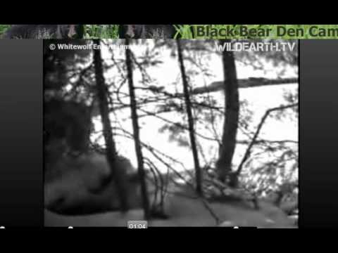 Installing camera at Ely, MN Live Black Bear Den webcam