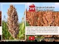 How to cultivate Sorghum