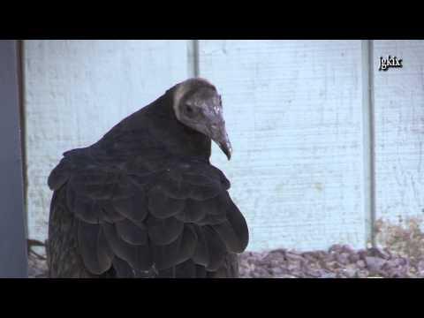 Vulture the Bird of Prey
