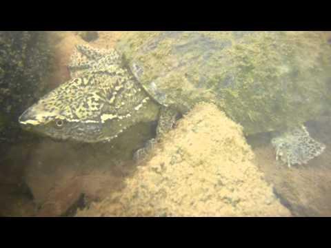 Stinkpot-Common Musk Turtle -Bull Run