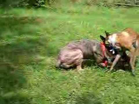 Cane corso bebe