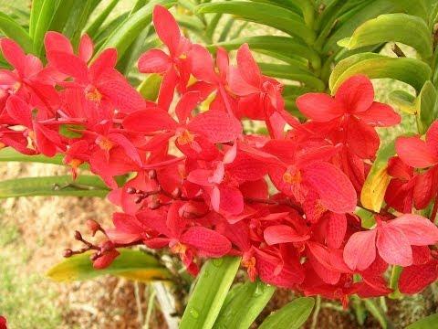 Orchideen Und Andere Tropische Schönheiten.wmv
