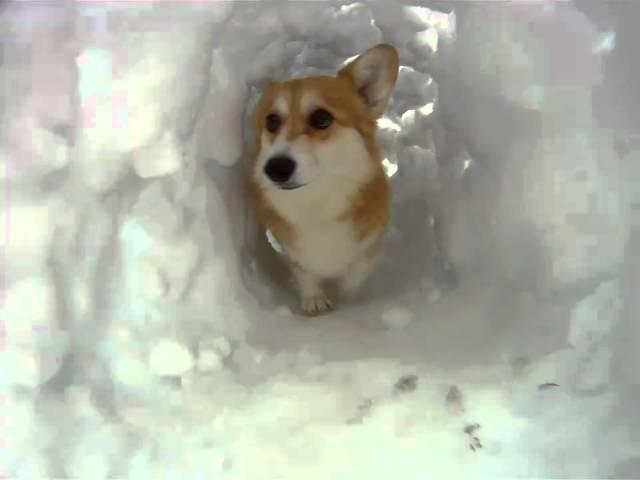 play video: Corgi Snow Tunnel
