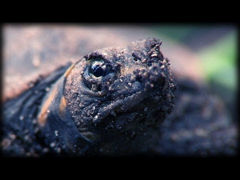 Softshell Turtle Hatching 01 - Birth of Animals