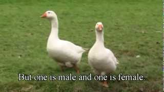 How To Tell The Difference Between A Goose And A Gander