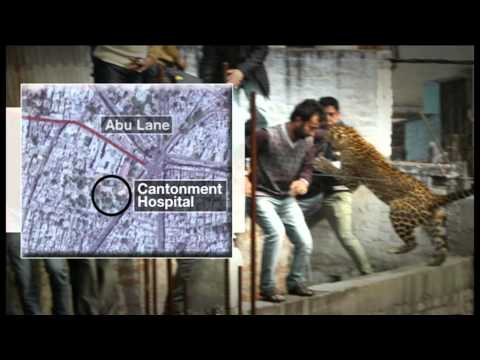 Leopard at large- dramatic video- BBC NEWS
