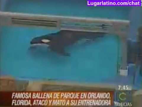 Ballena Orca mata a su entrenadora en Sea World de Orlando