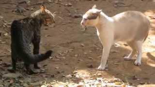 Bôsco Vídeo 133: Briga de gato - Felinos & território