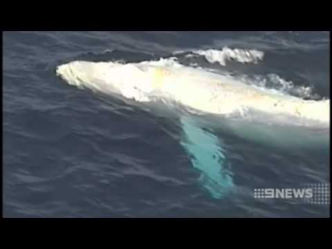 Migaloo sighted off Qld, Australia, but could the white humpback whale be suffering skin cancer?