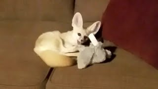 Lucy the Fennec Fox gets a NEW TOY!!