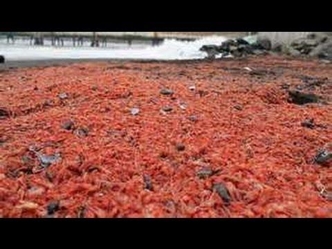 AUSTRALIA BAT-HUMAN; CHILE Shrimps; FLORIDA Manatees; BRAZIL Fish 3.21.13 [Read DESCRIPTION]