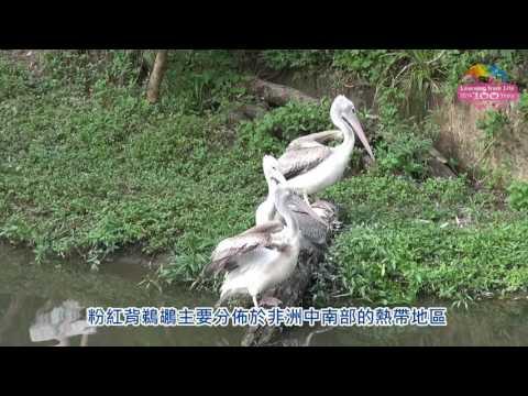 台灣-臺北市立動物園-EP 150 粉紅背鵜鶘剛進駐白鵜鶘樂追屁股跑