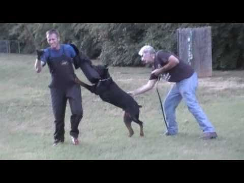 DOBERMAN- SCHUTZHUND TRAINING (SOLD)