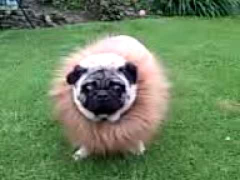 Pug Dress Pug Dressed as Lion