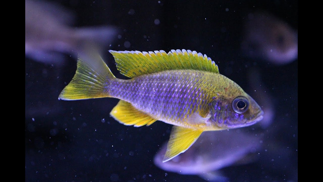 lemon jake peacock cichlid - photo #30